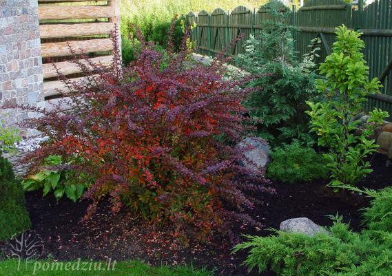 Rausvalapis raugerškis tampa gražiu akcentu ir žaliaspalvių augalų kaimynystėje, ir pavėsinės fone.