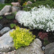 Balti žiedeliai – tai daugiametė gėlė gauruotoji glažutė, kuri gana greitai plečiasi ir paskleidžia gražų žiedų kilimą.