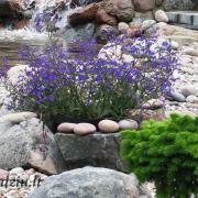 """Jei neturite keramikinio vazono, bet turite atliekamų akmenų, galite išdėstyti juos taip, kad į vidų būtų galima įstatyti vazonėlį su augalu. Nuotraukoje matote lobeliją, įdėtą kaip tik į tokį akmeninį """"vazoną"""". Tik reikia atkreipti dėmesį į tai, kad vasarą akmenys įkaista ir ilgai laiko šilumą, todėl augalus reikėtų dažniau palaistyti."""