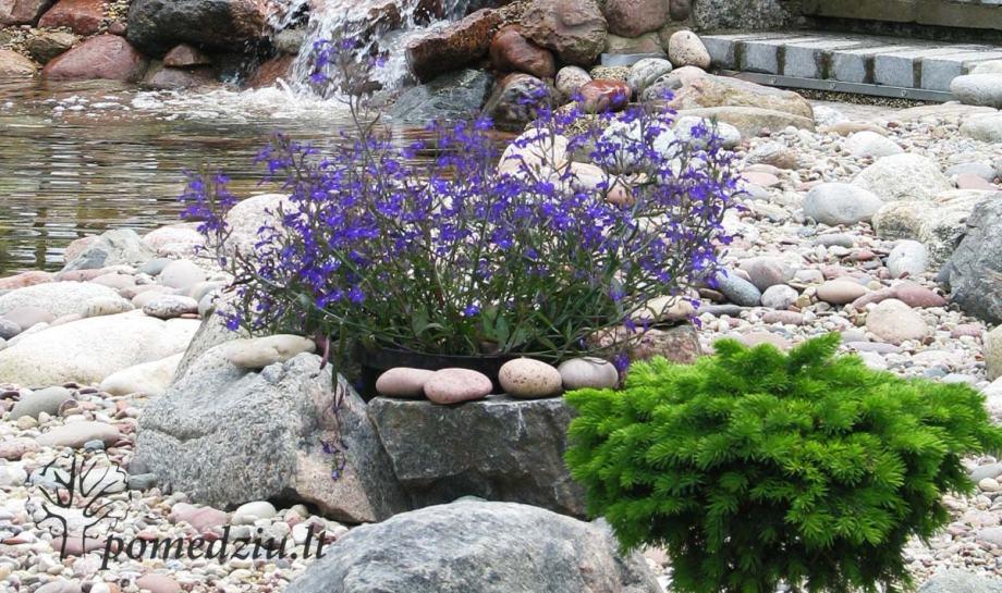 Kiemo augalai: lobelija