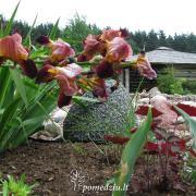 Karališkasis irisas – pasižymi labai gražiais žiedais, tačiau jie žydi tik 2–3 savaites, o vėliau ir lapai nuruduoja. Sodinkite jį tarp augalų, turinčių gražius lapus, kurie paslėps irisą jam nužydėjus.
