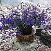 Lobelija – vienmetė gėlė. Jos ryškūs žiedeliai gražiai žiūrisi žvirgždo (smulkių akmenėlių) fone.