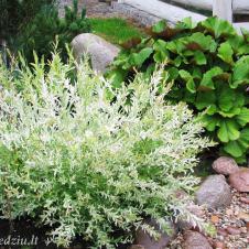 Sveikalapis gluosnis pagyvina aplinką baltai rausvais savo ūglių lapais.