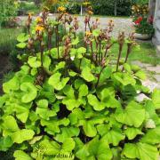 Ši gėlė – dantytoji gaurė. Ji gali augti tiek kompozicijoje, tiek viena – kaip akcentas. Geriausiai auga priedangoje. Mano sode jai labiausiai patiko augti šalia obels, iš pietinės pusės.