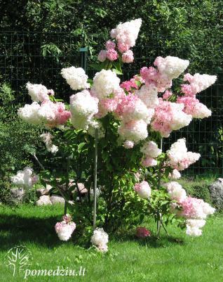 """Sodo puošmena – šluotelinė hortenzija """"Vanilė"""". Puošniais žiedais šis krūmas jus džiugins nuo liepos vidurio iki pat pirmųjų šalnų."""