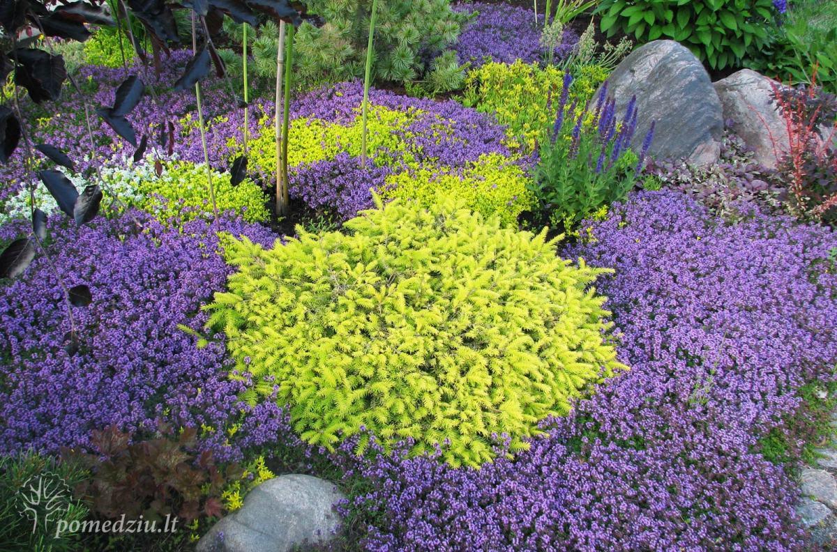 Kiemo augalai: salotinė eglutė