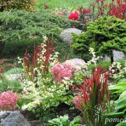 """Šalia neaukštų spygliuočių pasodinta žemaūgė hortenzija (šie metai jai pirmi), o jos artimiausios kaimynės – tai viksvos """"Red Baron""""."""